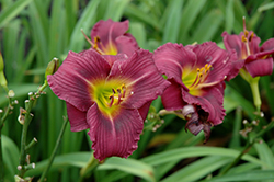 Little Grapette Daylily (Hemerocallis 'Little Grapette') at Jolly Lane Greenhouse