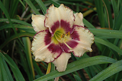 Inwood Daylily (Hemerocallis 'Inwood') at Jolly Lane Greenhouse