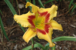 Tiger Swirl Daylily (Hemerocallis 'Tiger Swirl') at Jolly Lane Greenhouse
