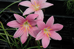 Pink Rain Lily (Zephyranthes rosea) at Jolly Lane Greenhouse