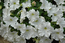 Pretty Flora White Petunia (Petunia 'Pretty Flora White') at Jolly Lane Greenhouse