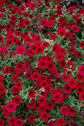 Tidal Wave Red Velour Petunia (Petunia 'Tidal Wave Red Velour') at Jolly Lane Greenhouse