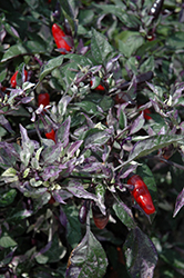 Calico Ornamental Pepper (Capsicum annuum 'Calico') at Jolly Lane Greenhouse