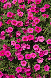Kabloom™ Deep Pink Calibrachoa (Calibrachoa 'Kabloom Deep Pink') at Jolly Lane Greenhouse