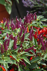 Sangria Ornamental Pepper (Capsicum annuum 'Sangria') at Jolly Lane Greenhouse