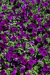 Easy Wave® Blue Petunia (Petunia 'Easy Wave Blue') at Jolly Lane Greenhouse