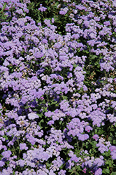 High Tide Blue Flossflower (Ageratum 'High Tide Blue') at Jolly Lane Greenhouse