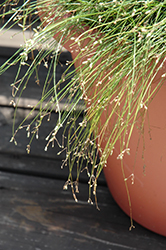Live Wire Fiber Optic Grass (Isolepis cernua 'Live Wire') at Jolly Lane Greenhouse