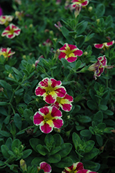 Superbells® Holy Moly! Calibrachoa (Calibrachoa 'Superbells Holy Moly!') at Jolly Lane Greenhouse