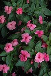 Divine™ Pink New Guinea Impatiens (Impatiens hawkeri 'Divine Pink') at Jolly Lane Greenhouse