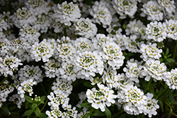 Snowflake Candytuft (Iberis sempervirens 'Snowflake') at Jolly Lane Greenhouse