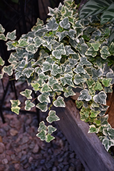 Glacier Ivy (Hedera helix 'Glacier') at Jolly Lane Greenhouse