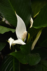 Peace Lily (Spathiphyllum wallisii) at Jolly Lane Greenhouse