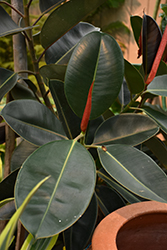 Rubber Tree (Ficus elastica) at Jolly Lane Greenhouse