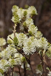 Mt. Airy Fothergilla (Fothergilla major 'Mt. Airy') at Jolly Lane Greenhouse