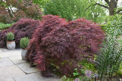 Crimson Queen Japanese Maple (Acer palmatum 'Crimson Queen') at Jolly Lane Greenhouse