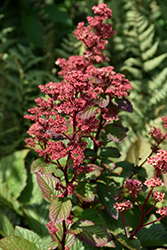Bronze Peacock Rodgersia (Rodgersia 'Bronze Peacock') at Jolly Lane Greenhouse