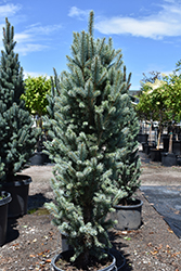 Blue Totem Spruce (Picea pungens 'Blue Totem') at Jolly Lane Greenhouse