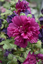 Queeny Purple Hollyhock (Alcea rosea 'Queeny Purple') at Jolly Lane Greenhouse