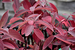 Arctic Fire® Red Twig Dogwood (Cornus sericea 'Farrow') at Jolly Lane Greenhouse