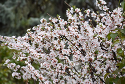 Nanking Cherry (Prunus tomentosa) at Jolly Lane Greenhouse