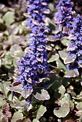 Burgundy Glow Bugleweed (Ajuga reptans 'Burgundy Glow') at Jolly Lane Greenhouse
