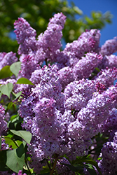 Common Lilac (Syringa vulgaris) at Jolly Lane Greenhouse