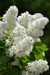 White French Lilac (Syringa vulgaris 'Alba') at Jolly Lane Greenhouse