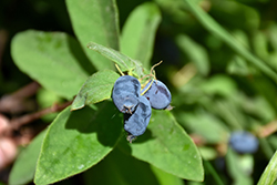 Tundra Honeyberry (Lonicera caerulea 'Tundra') at Jolly Lane Greenhouse