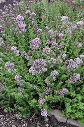 Oregano (Origanum vulgare) at Jolly Lane Greenhouse