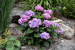 Bloomstruck® Hydrangea (Hydrangea macrophylla 'PIIHM-II') at Jolly Lane Greenhouse