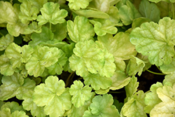 Dolce® Appletini Coral Bells (Heuchera 'Appletini') at Jolly Lane Greenhouse