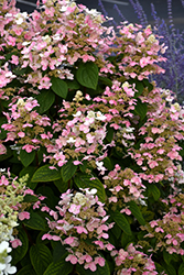 Quick Fire® Hydrangea (Hydrangea paniculata 'Bulk') at Jolly Lane Greenhouse