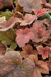 Pumpkin Spice Foamy Bells (Heucherella 'Pumpkin Spice') at Jolly Lane Greenhouse