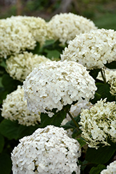 Invincibelle® Wee White Hydrangea (Hydrangea arborescens 'NCHA5') at Jolly Lane Greenhouse