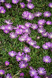 Table Mountain Ice Plant (Delosperma 'John Proffitt') at Jolly Lane Greenhouse
