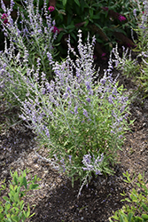 Blue Jean Baby Russian Sage (Perovskia atriplicifolia 'Blue Jean Baby') at Jolly Lane Greenhouse