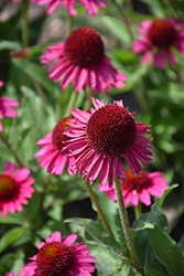 Delicious Candy Coneflower (Echinacea 'Delicious Candy') at Jolly Lane Greenhouse