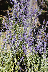 Little Spire Russian Sage (Perovskia 'Little Spire') at Jolly Lane Greenhouse