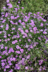 Pink Creeping Baby's Breath (Gypsophila repens 'Rosea') at Jolly Lane Greenhouse