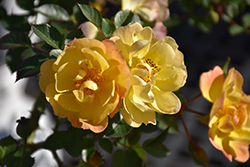 Sunshine Happy Trails Rose (Rosa 'WEKsusacofloc') at Jolly Lane Greenhouse