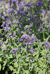 Little Trudy Catmint (Nepeta 'Psfike') at Jolly Lane Greenhouse