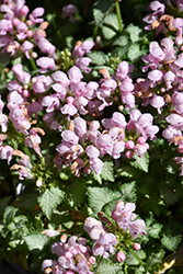 Pink Pewter Spotted Dead Nettle (Lamium maculatum 'Pink Pewter') at Jolly Lane Greenhouse