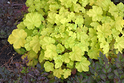 Primo® Pretty Pistachio Coral Bells (Heuchera 'Pretty Pistachio') at Jolly Lane Greenhouse