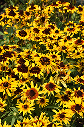 Denver Daisy Coneflower (Rudbeckia hirta 'Denver Daisy') at Jolly Lane Greenhouse