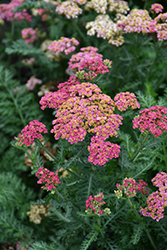 Sassy Summer Taffy Yarrow (Achillea 'Sassy Summer Taffy') at Jolly Lane Greenhouse