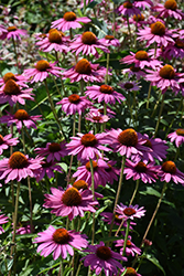 PowWow Wild Berry Coneflower (Echinacea purpurea 'PowWow Wild Berry') at Jolly Lane Greenhouse