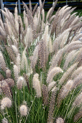 Fountain Grass (Pennisetum setaceum) at Jolly Lane Greenhouse